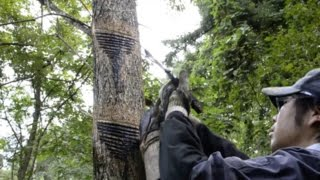 Добыча лака из лакового дерева уруси