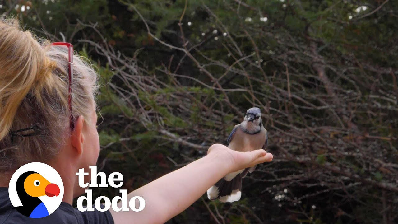 Woman Makes Friends With Wild Blue Jays Is So Surprised When She Moves To A New Home    The Dodo