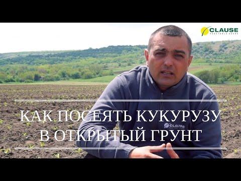 Как сажать кукурузу в открытый