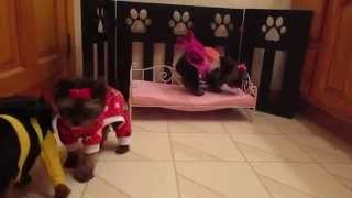 Micro Teacup Yorkshire Terrier Pups Playing Dress Up