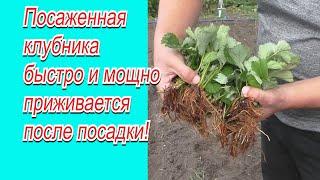 Полейте так клубнику после посадки-  урожай гарантирован!