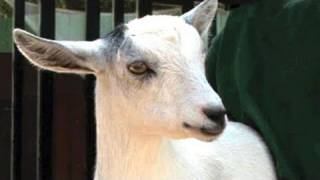 How To Take Care Of Goats