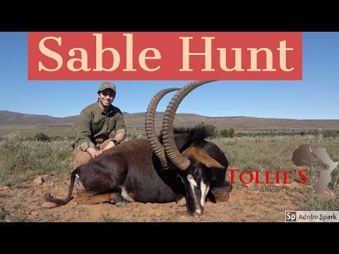 Hunting In Africa | Sable Hunting At Tollies African Safaris