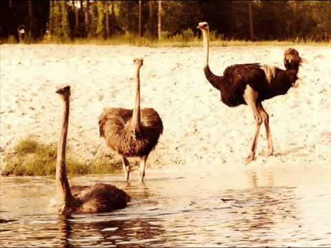 Ratites-Ostrich, Rhea & Emu
