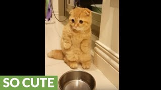 Cat adorably begs owner to fill food bowl
