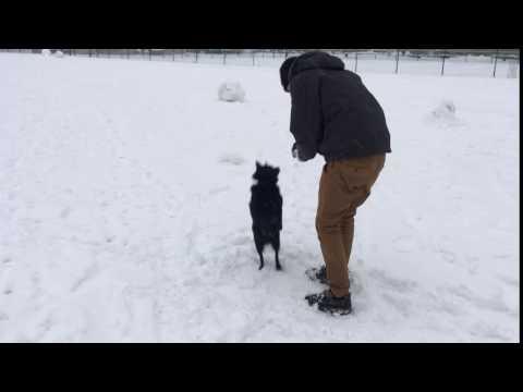 Schipperke dog eats a snowball