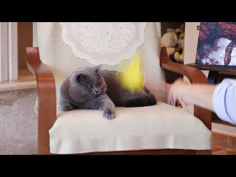 Британский кот Захар