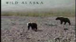 Bear Encounter Alaskan Close Call