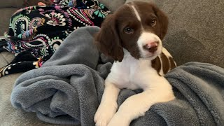 We Got Our Second Brittany Spaniel Puppy, Meet Piper!