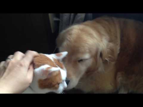 The golden retriever Alia and the cat Lin in the morning!