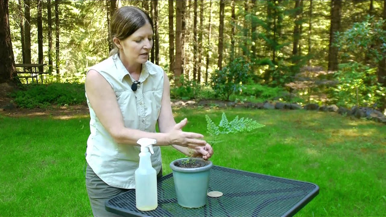 growing caring for foliage plants how to care for a maidenhair fern indoors youtube. Black Bedroom Furniture Sets. Home Design Ideas