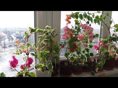 Бугенвиллия зимовка. Цветение бугенвиллий зимой на балконе
