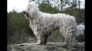 Komondor History And Information