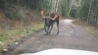 Bull Moose Charges Truck thumbnail