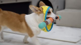 Welshi Corgi is wearing her toy! | Cute dog ♥ Funny dog