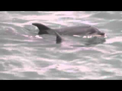 Dolphins in the Waitemata harbour Auckland NZ