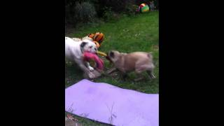 Kc English Bulldog And Pug Cross Playing In Garden