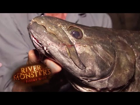 The Elusive Wolf Fish | WOLF FISH | River Monsters