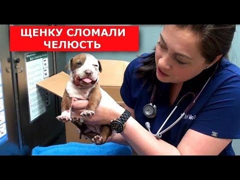 ЩЕНОК СО СЛОМАННОЙ ЧЕЛЮСТЬЮ (Спасли щенка питбуля) Ветеринарное ранчо на русском