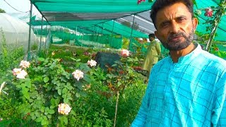Expert briefing on Rose Plant Care   Detail Informative Talk on Desi and English Rose