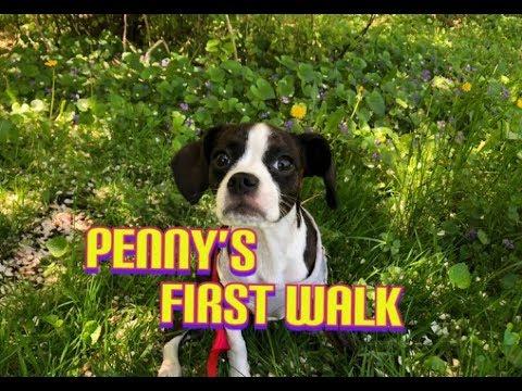 My Puppy's first walk   Boston Terrier Mix