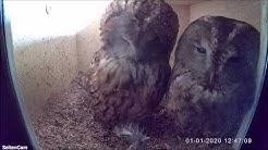 Verwirrtes Gesicht bei Familie Waldkauz, brown owl [Strix aluco]  01.01.2020 in der Altmark.