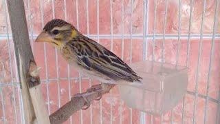 Suara Burung Manyar Isian Kenari Ngerol Gacor