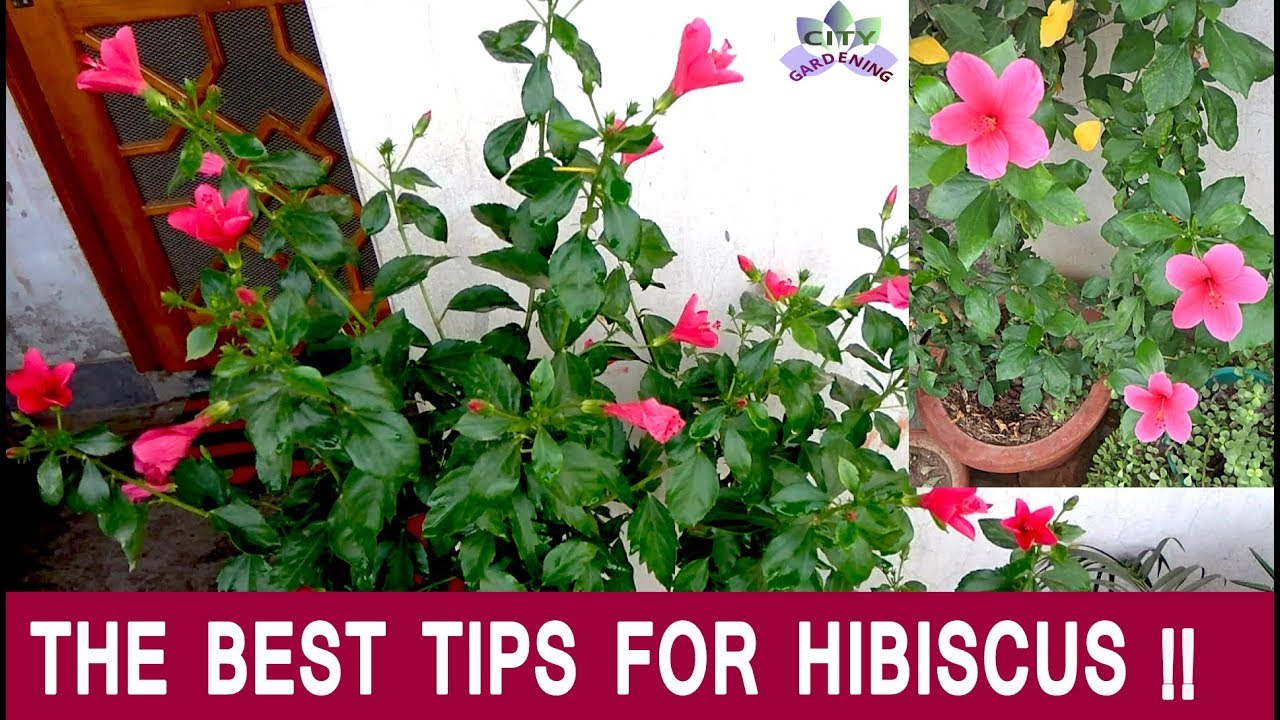 How To Care For And Fertilize Hibiscus China Rose Gudhal For An