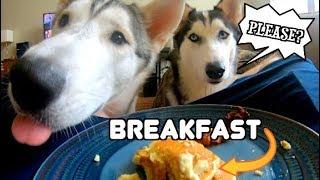 Eating Breakfast With Siberian Huskies!