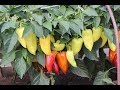 Хотите Богатый Урожай Перца и Баклажанов?! Советы От Профессионала.