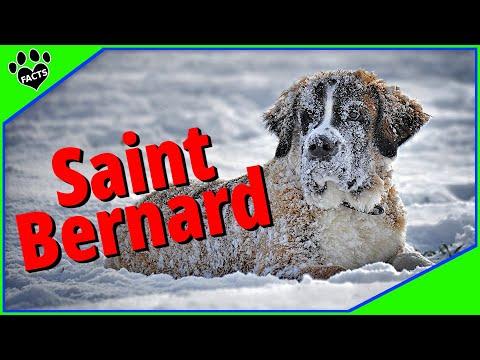 Dogs 101: Saint Bernard Interesting Info - Animal Facts
