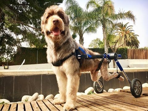 DOG ABANDONED IN A WHEELCHAIR IS ADOPTED BY ANGELS! BEST VIDEO I EVER MADE!  WATCH THE END