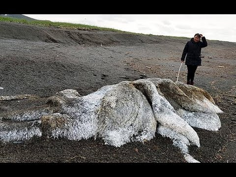 Large, hairy 'sea monster' washes up in Russia, leading to thawed woolly mammoth speculation