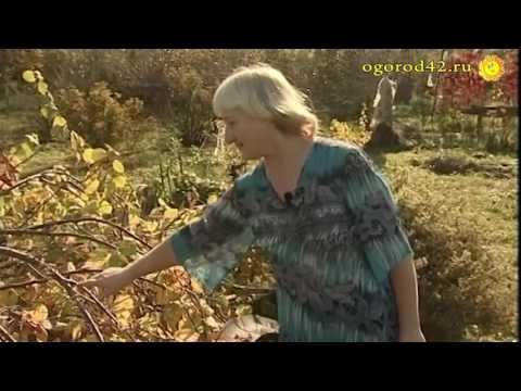 Орешник (фундук) плодоносит на участке