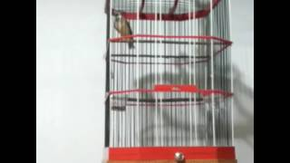 Video Kicau burung Blackthroat Surabaya Barat ( SODOMI ) By. Jemmy gudel on facebook download MP3, 3GP, MP4, WEBM, AVI, FLV Maret 2018