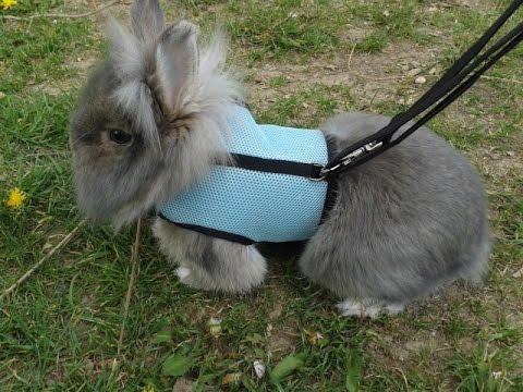Выгул кролика на поводке. Kaninchen Semi участвует в Формула 1