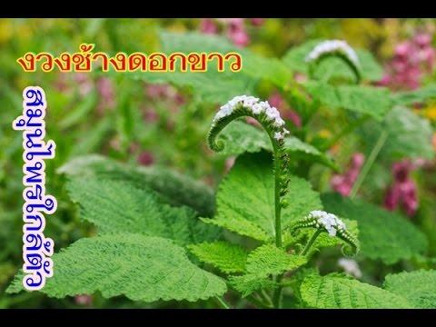 หญ้างวงช้าง มหัศจรรย์สมุนไพรไทยแก้โรคภูมิแพ้