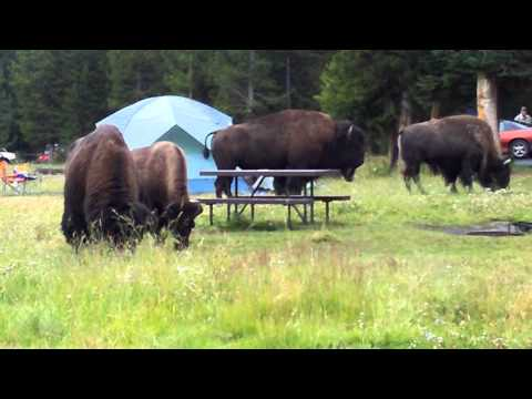 Bison in Yellowstone campsite 1 of 2