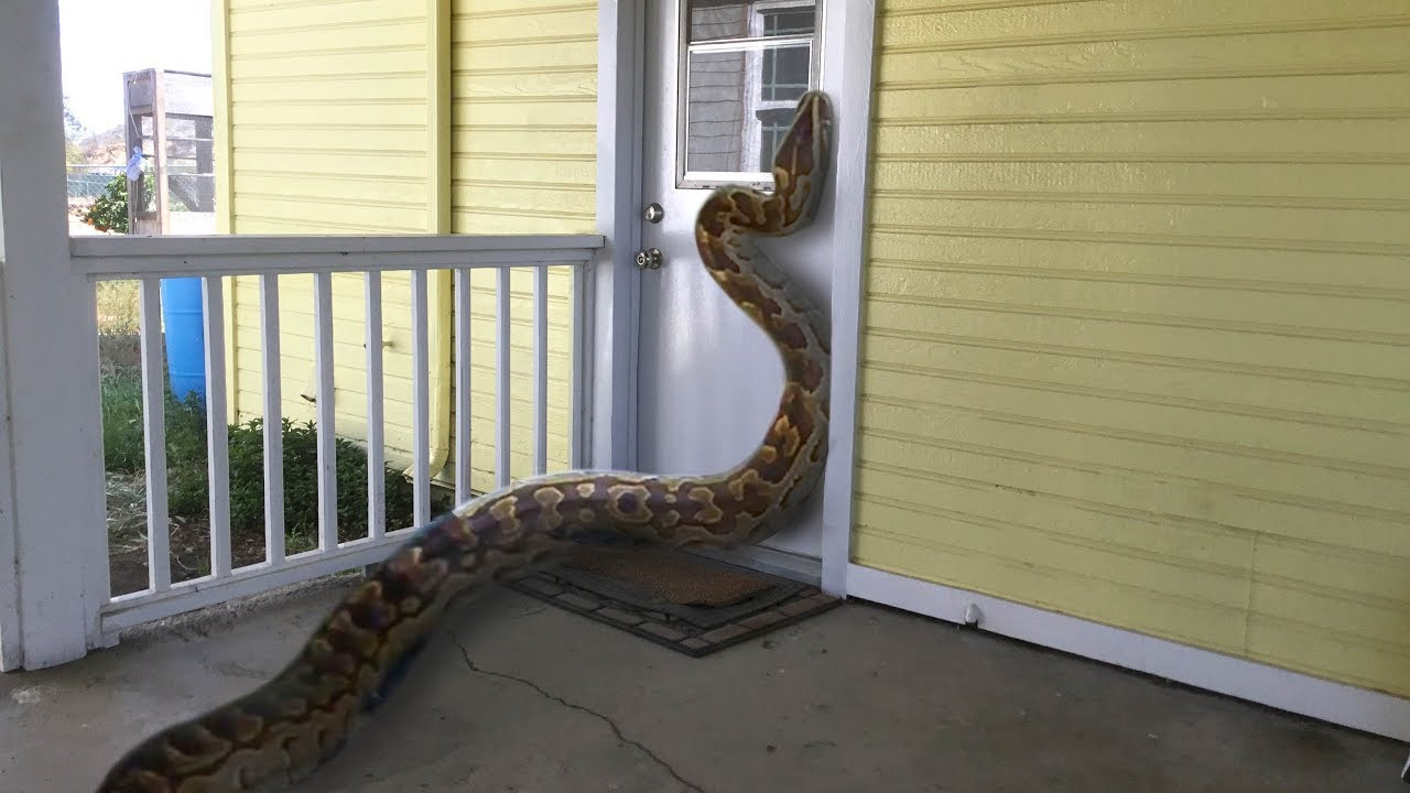 African Rock Python Tries To Enter Home Eats Rabbit