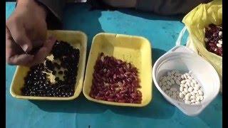 видео Как вырастить фасоль на даче в открытом грунте?