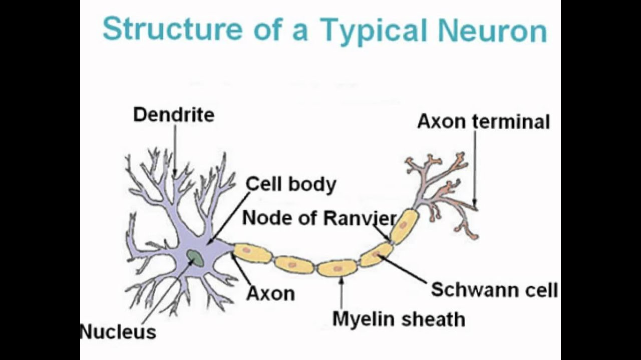 Nerve Cell Diagram Blank Car Stereo Wiring Colors Auditory On A Of Neuron Youtube