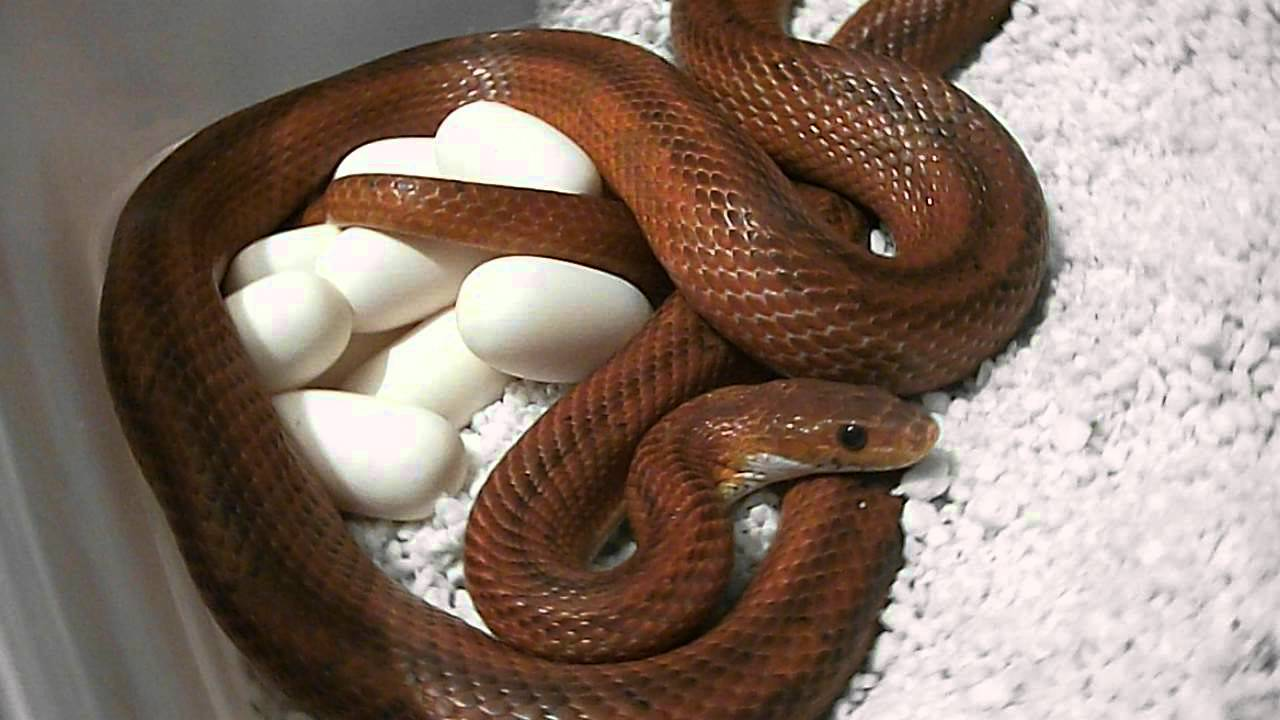 sunkissed plasma hets   in egg form  orchid x bloodred corn snake