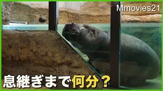 Hippopotamus,Zan (female,41 years old) at Maruyama zoo,Hokkaido,Jap...