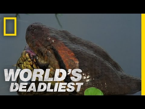 Anaconda Devours World