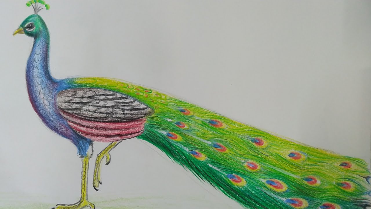 How To Draw A Peacock With Colour Pencil Youtube