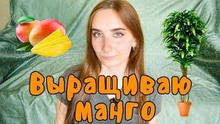 видео Как вырастить манго из косточки?