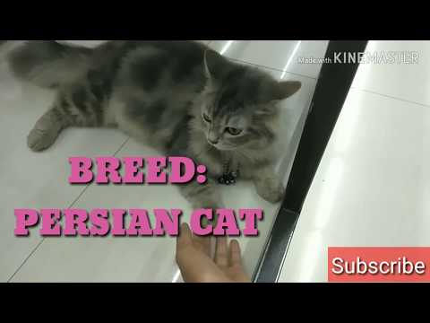 PERSIAN CAT SPOTTED IN THE PHILIPPINES