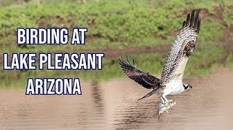 Birding at Lake Pleasant Arizona