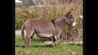 Miniature Donkey West Prairie Tina