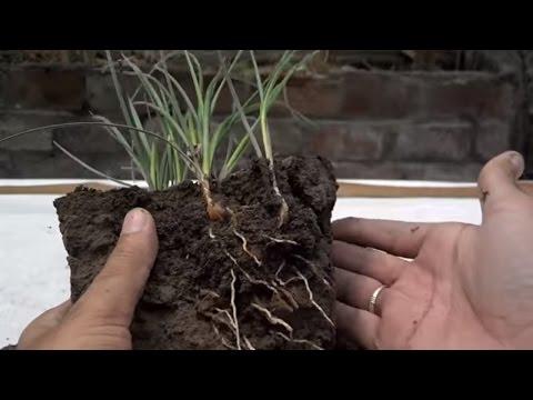 How to Grow Saffron Plant at Home | Kesar Herb | Saffron Production in Kashmir (Urdu/Hindi)